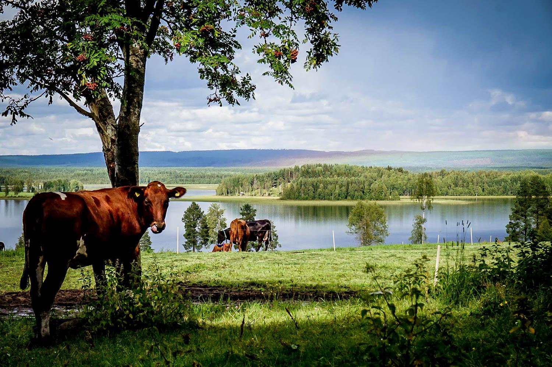 Svedjan Ost - mejeriet norr om Skellefteå